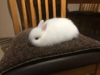 Netherland Dwarf baby rabbit white with blue eyes