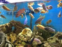 40 malawi cichilds tropical fish for sale