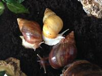 Giant African land snails ready to collect