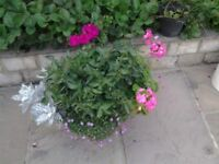 18+ INCH DIAMETER, PLANTED AND FLOWERING LARGE POTS, COMPLETE BARGAIN. HOUSE MOVE FORCES SALE.