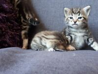 3 tabby gorgeous cute kittens 1 boy and 2 girls