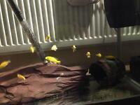 Yellow Labidochromis.