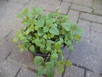 Lemon balm plants in a 3 litres pot