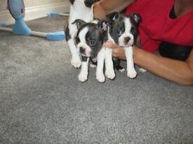 Beautiful Boston Terrier Puppys