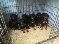 Beautiful Doberman pups for sale