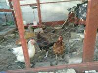 Chickens Hens Cockerel Asil Light Sussex Hybrid