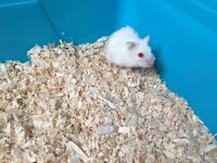 Two female Robo Dwarf Hamsters FOR SALE