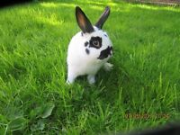 RABBIT FOR SALE LOP CROSSED ENGLISH FOUR MONTHS OLD FEMALE