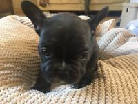 French bulldog pup
