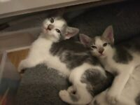 #sold pending collection# Twin kittens part Siamese pair only!