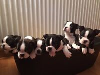 Puppies for Sale Beautiful Chunky Boston Terrier Pups 3 months Old