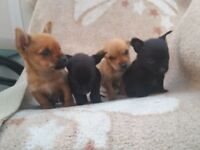 Chalky puppies for sale