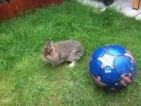 Pure Netherland Dwarf rabbit Doe