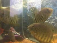 "Tropical fish severum 4-5"" inch"