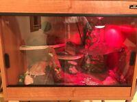 3 x Leopard geckos plus set up