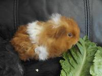 baby lunkaryn boy guinea pig