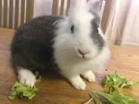 Lion head rabbits for sale