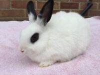 Young Vaccinated Rabbit for Sale