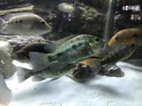 American cichlids