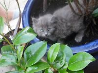 Scruffy grey boy kitten.