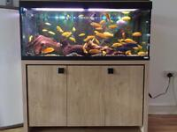Malawi Cichlids in a mature tank