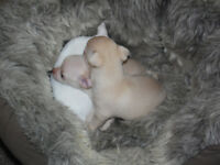 Teacup Chihuahua puppies 1 girl 1 boy