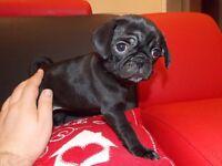 Pug X puppies, girl 1