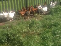 Point of lay chickens for sale - FIFE