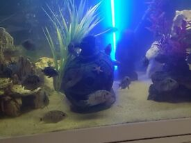 CICHLID CONVICTS FOR SALE