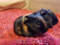 Beautiful baby guinea pigs