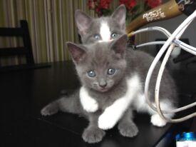 Persian Russian blue kitten