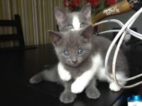 Persian Russian blue kitten