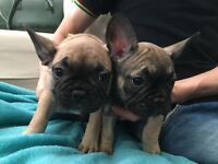 Lovely cute lovely French bulldogs ready to go to new home