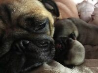 🎀💕💕pug puppies 😋
