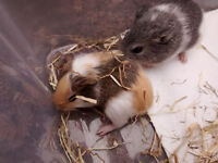 Cute baby Guinea Pigs for sale