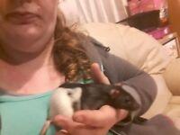 Female rats £10