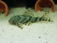 Candy pleco tropical fish