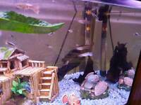 Guppies fish for sale £1.50 each or 5 for £5