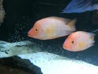 Two Midas for sale cichlid American