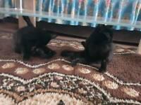 2 black Kittens