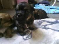 Shih tzu cross Yorkshire terrier