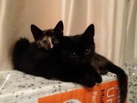 Two 18 month old kittens for sale