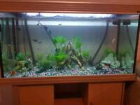 4ft fish tank full of convicts and other fish
