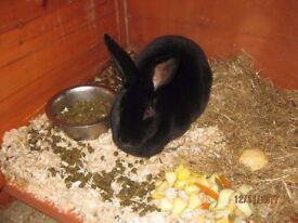 Female Rex Rabbit 18 months old