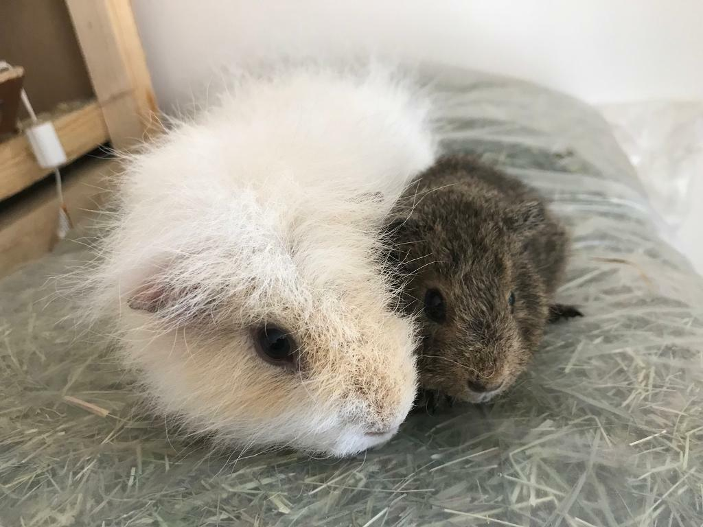 2 Male Guinea Pigs With Indoor Cage In Aldershot Hampshire Gumtree