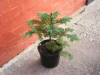 potted xmas trees (WITH FULL ROOT SYSTEM)