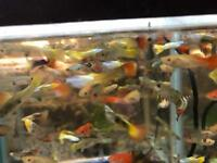 Assorted Guppy peaceful community tropical fish