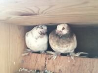 Pigeons baby and other healthy pigeons £25.