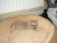 chihuahua puppies for sale. ready now