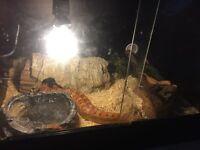 corn snake for sale only a year old